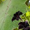 DSC_4088 black petunia