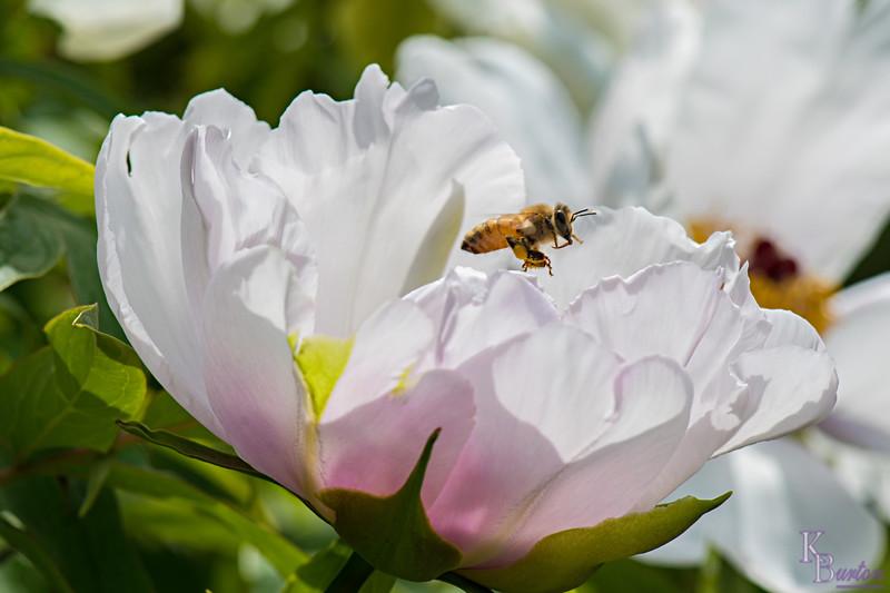 DSC_7742 honey bee