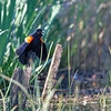 DSC_8935 red wing black bird_DxO