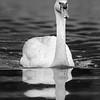 DSC_8538 Swan_DxO
