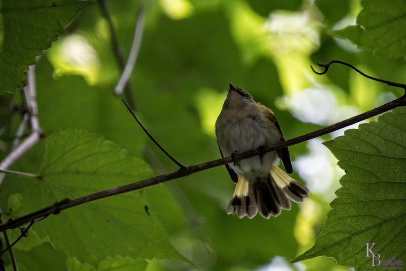 DSC_5960 warbler