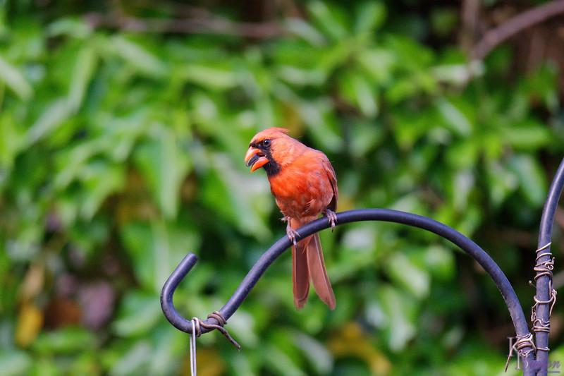 DSC_9403 male cardinal_DxO