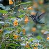 DSC_5478 hummingbird