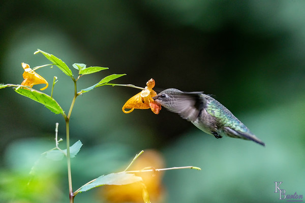 DSC_2569 hummer