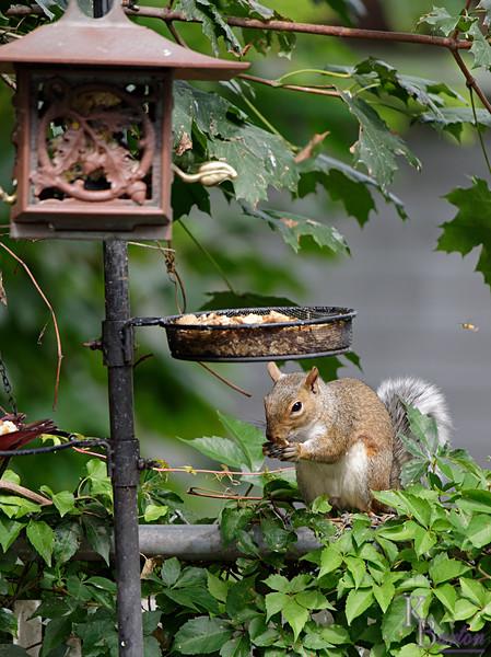 DSC_8874 bird feed raider_DxO