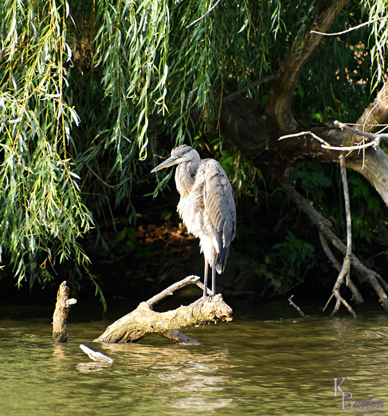 DSC_5872 young heron