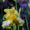 DSC_4985 yellow iris_DxO