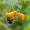 DSC_0781 bumblebee and jewel weed