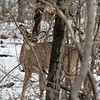 DSC_4000 The deer of Clove Lakes