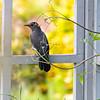 DSC_7917 mockingbird