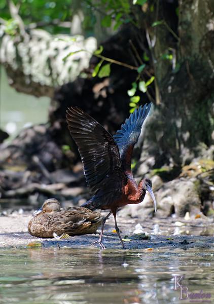 DSC_0901 scarlet ibis