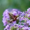 DSC_6681 sphinx moth