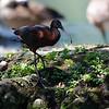 DSC_1089 scarlet ibis_DxO