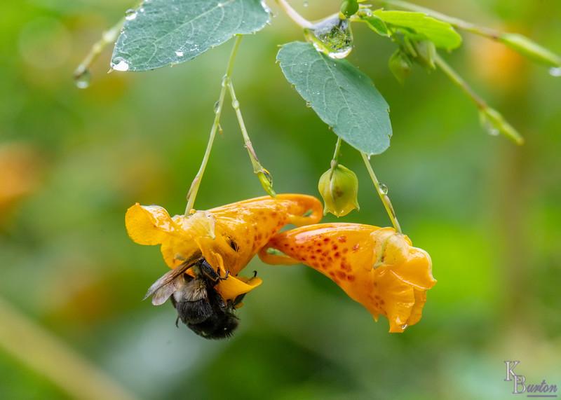 DSC_0779 bumblebee and jewel weed