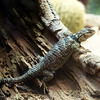 Another inhabitant of the Staten Island Zoo, it is known as a spiny crevice lizard. No doubt because of where you often find them, but this one I found resting on this log instead.