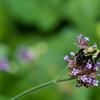 DSC_4204 bumblebee