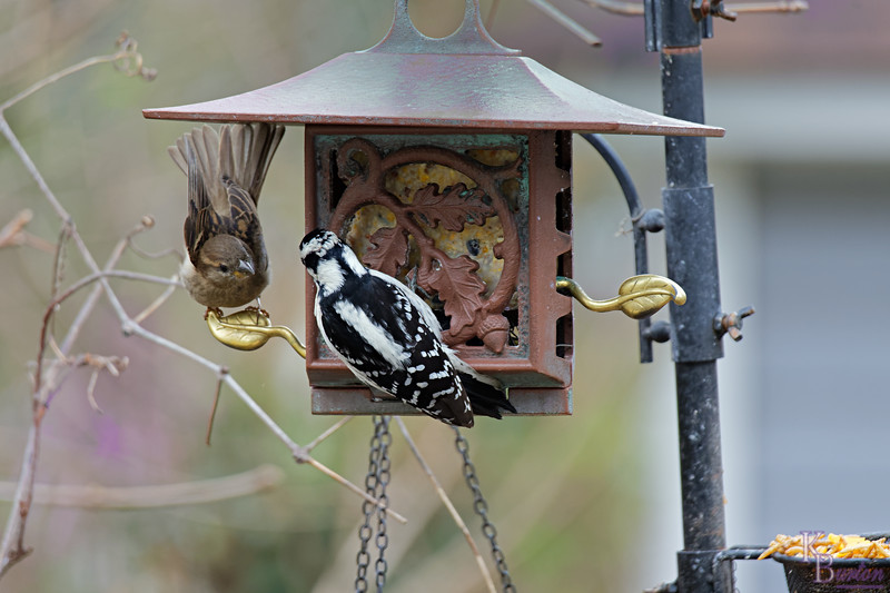 DSC_5780 backyard visitor_DxO