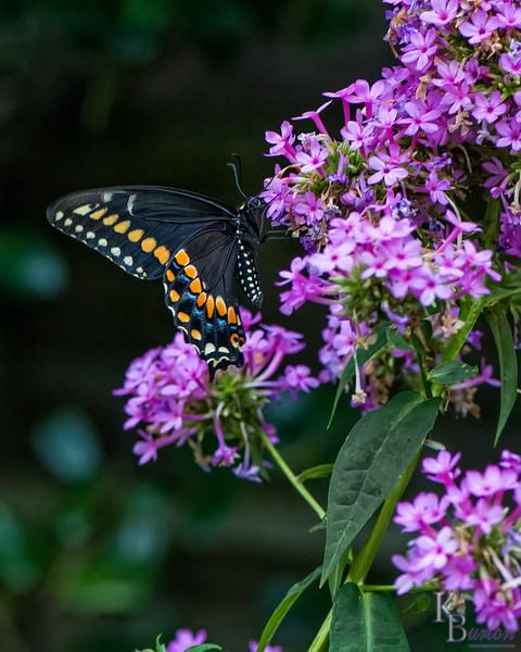 DSC_4613 black swallowtail