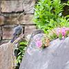 DSC_5699  Cat bird