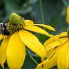 DSC_3157 bumble bee