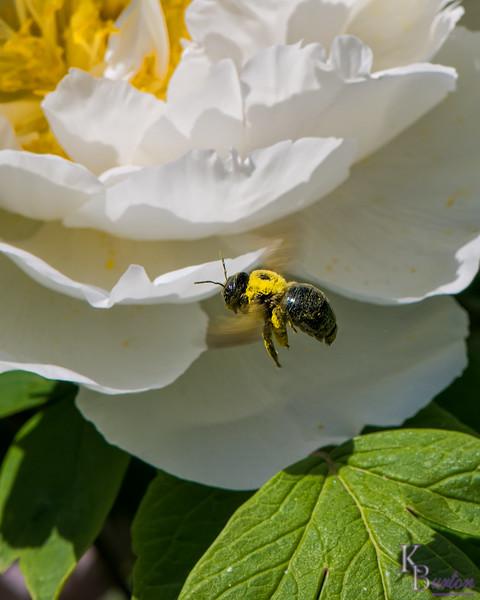 DSC_7806 pollenator