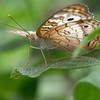 dsc_6947 inhabitants of Butterfly Gardens