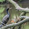 DSC_0070 cormorant