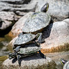 DSC_7445 red eared sliders