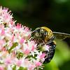 DSC_7050 bumble bee