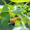 DSC_8777 bumblebee