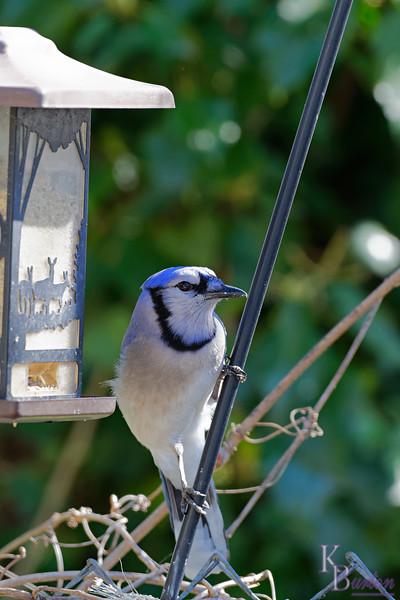 DSC_9362 backyard visitors_DxO