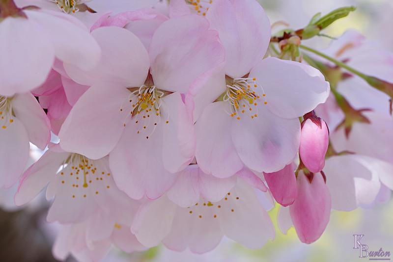 DSC_4583  cherry blossoms_DxO