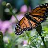 DSC_6346 monarch butterfly