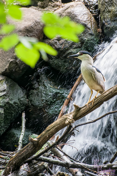 As I've been photographing nature here at Clove Lake over the years I've noticed certain spots that particular animals love to spend time at over and over again. This night heron and this waterfall are a constant pairing. The branches over this spot are probably a good location for it to hunt from. Though for all the number of times I photographed him, I've never actually seen it do any hunting. <br /> <br /> But as they are a nocturnal species, maybe he does all his hunting at night. And this is the spot he comes to to get some sleep - with his eyes open.