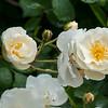 dsc_5473 Sally's flowering bushes