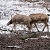 DSC_8619 Pere David's deer