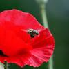 DSC_2351 foraging for nectar