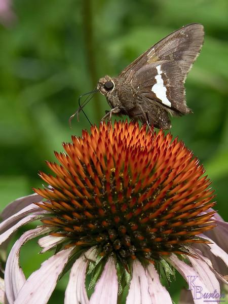 DSC_8058 butterfly on a cone flower