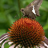 DSC_8058 butterfly on a cone flower