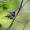 DSC_3779 Black throated blue warbler_DxO