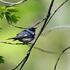 DSC_3779 Black throated blue warbler_DxO