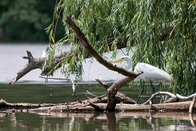DSC_4592 great white egret