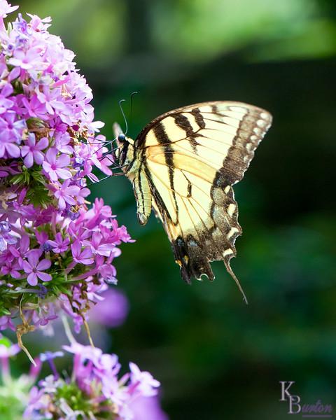 dsc_4537 Tiger swollowtail butterfly