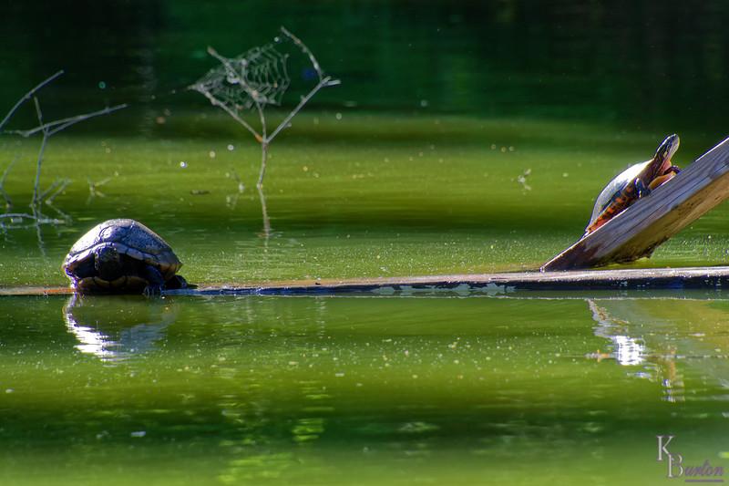 DSC_9357 Snug Harbor turtle pond _DxO
