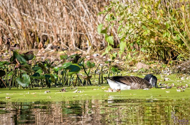 DSC_7947 canada goose