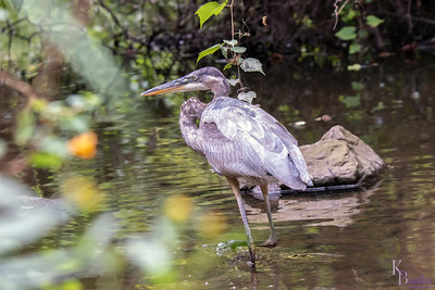 DSC_2165 young heron