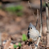 DSC_0632 Tufted Titmouse