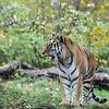DSC_6672 asian tiger
