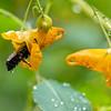 DSC_0660 bumblebee and jewel weed