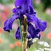 DSC_2189 purple iris